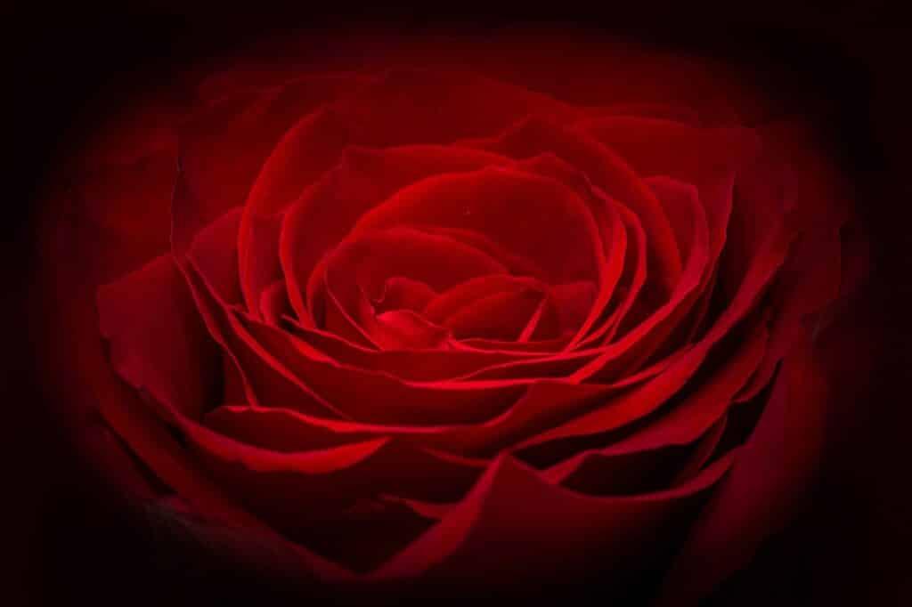 rose-266611_1280